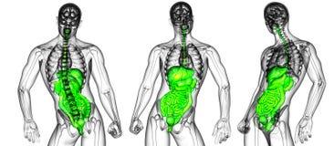 τρισδιάστατη δίνοντας ιατρική απεικόνιση του χωνευτικού Στοκ Εικόνες