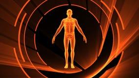 τρισδιάστατη ζωτικότητα της ενήλικης αρσενικής ακτίνας X με τον άνευ ραφής βρόχο διανυσματική απεικόνιση