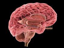 τρισδιάστατος ιατρικός απεικόνισης εγκεφάλου ανθρώπινος που δίνεται ελεύθερη απεικόνιση δικαιώματος