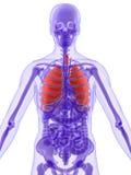 τρισδιάστατος πνεύμονας ανατομίας διανυσματική απεικόνιση