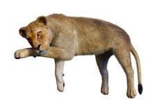 τρισδιάστατο θηλυκό λιοντάρι απόδοσης στο λευκό Στοκ Εικόνα