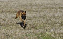 τρισδιάστατο σκυλί γερμανικά ψαλιδίσματος μπόξερ πέρα από το μονοπάτι που δίνει το λευκό σκιών στοκ εικόνα με δικαίωμα ελεύθερης χρήσης