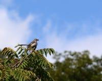 τρισδιάστατο ψαλίδισμα mockingbird βόρειο πέρα από το μονοπάτι που δίνει το λευκό σκιών Στοκ Φωτογραφία
