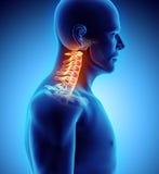 τρισδιάστατη απεικόνιση της αυχενικής σπονδυλικής στήλης, ιατρική έννοια ελεύθερη απεικόνιση δικαιώματος
