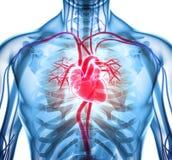 τρισδιάστατη απεικόνιση της καρδιάς, ιατρική έννοια διανυσματική απεικόνιση