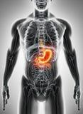 τρισδιάστατη απεικόνιση του στομαχιού ελεύθερη απεικόνιση δικαιώματος