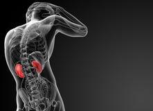 τρισδιάστατη απεικόνιση των νεφρών Στοκ φωτογραφία με δικαίωμα ελεύθερης χρήσης