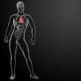 τρισδιάστατος δώστε την ανθρώπινη ανατομία καρδιών Στοκ εικόνες με δικαίωμα ελεύθερης χρήσης