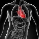τρισδιάστατος δώστε την ανθρώπινη ανατομία καρδιών Στοκ Εικόνες