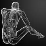 τρισδιάστατος δώστε την ανθρώπινη ανατομία Στοκ φωτογραφίες με δικαίωμα ελεύθερης χρήσης