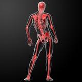 τρισδιάστατος δώστε το σκελετό από τις ακτίνες X στο κόκκινο Στοκ Εικόνα