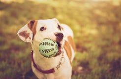 τρισδιάστατο αμερικανικό σκυλί ψαλιδίσματος πέρα από το μονοπάτι που δίνει το λευκό τεριέ Staffordshire σκιών Στοκ Φωτογραφίες