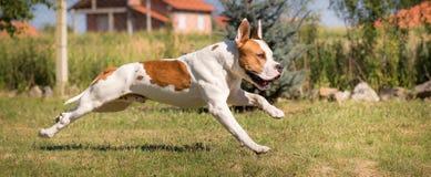 τρισδιάστατο αμερικανικό σκυλί ψαλιδίσματος πέρα από το μονοπάτι που δίνει το λευκό τεριέ Staffordshire σκιών Στοκ εικόνα με δικαίωμα ελεύθερης χρήσης