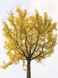 τρισδιάστατο λευκό δέντρων διάλυσης απεικόνισης ginkgo υψηλό Στοκ Εικόνα