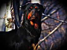 τρισδιάστατο σκυλί ψαλιδίσματος πέρα από το μονοπάτι που δίνει rottweiler το λευκό σκιών Στοκ Φωτογραφίες