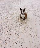 τρισδιάστατο σκυλί ψαλιδίσματος ταύρων πέρα από το μονοπάτι που δίνει το λευκό τεριέ σκιών Στοκ φωτογραφίες με δικαίωμα ελεύθερης χρήσης