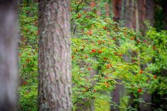 τρισδιάστατο υψηλό απομονωμένο απεικόνιση λευκό δέντρων σορβιών διάλυσης στοκ φωτογραφία με δικαίωμα ελεύθερης χρήσης