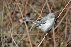 τρισδιάστατο ψαλίδισμα mockingbird βόρειο πέρα από το μονοπάτι που δίνει το λευκό σκιών Στοκ εικόνες με δικαίωμα ελεύθερης χρήσης