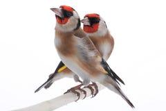 τρισδιάστατο ψαλιδίζοντας θηλυκό goldfinch πέρα από το μονοπάτι που δίνει το λευκό σκιών στοκ φωτογραφίες