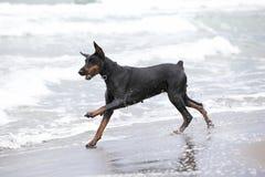 τρισδιάστατο doberman σκυλί ψαλιδίσματος πέρα από το μονοπάτι που δίνει το λευκό σκιών Στοκ φωτογραφία με δικαίωμα ελεύθερης χρήσης