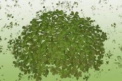 τριφύλλια Στοκ φωτογραφία με δικαίωμα ελεύθερης χρήσης