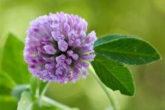 τριφύλλι ανασκόπησης floral Στοκ φωτογραφίες με δικαίωμα ελεύθερης χρήσης