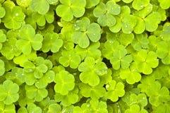 τριφύλλι πράσινο Στοκ Φωτογραφία