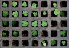 τριφύλλι σκακιού Στοκ φωτογραφία με δικαίωμα ελεύθερης χρήσης