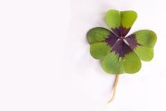 τριφύλλι τέσσερα φύλλο Στοκ εικόνα με δικαίωμα ελεύθερης χρήσης
