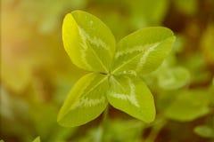 Τριφύλλι τέσσερις-φύλλων Ένα φυτό με 4 φύλλα Ένα σύμβολο της τύχης, happi Στοκ φωτογραφία με δικαίωμα ελεύθερης χρήσης