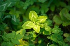 Τριφύλλι τέσσερις-φύλλων Ένα φυτό με 4 φύλλα Ένα σύμβολο της τύχης, happi Στοκ Φωτογραφίες