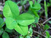 Τριφύλλι τεσσάρων φύλλων στο φυτό στο χορτοτάπητα, τυχερή γοητεία Στοκ Εικόνες