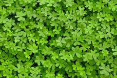 τριφύλλια πράσινα στοκ εικόνες