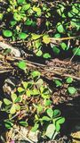 τριφύλλια Τομείς Στοκ φωτογραφίες με δικαίωμα ελεύθερης χρήσης