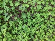 τριφύλλι ανασκόπησης πράσινο Στοκ Εικόνες