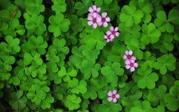 Τριφύλλι και ένα άγριο ρόδινο λουλούδι Στοκ Εικόνες