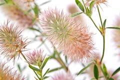 Τριφύλλι arvense trifolium τριφυλλιού Στοκ φωτογραφία με δικαίωμα ελεύθερης χρήσης