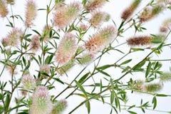 Τριφύλλι arvense trifolium τριφυλλιού Στοκ εικόνες με δικαίωμα ελεύθερης χρήσης