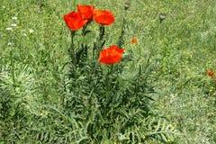 Τριχωτά λεπτά τεμαχισμένα φύλλα και λουλούδια της ασιατικής παπαρούνας Στοκ εικόνες με δικαίωμα ελεύθερης χρήσης