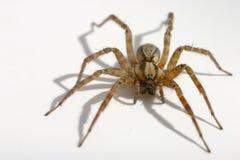 τριχωτή αράχνη Στοκ Εικόνες