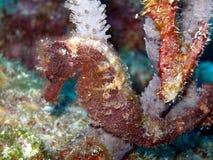 τριχωτή θάλασσα αλόγων Στοκ Φωτογραφία