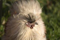 τριχωτή κότα Στοκ Φωτογραφίες