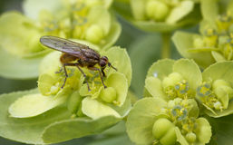 Τριχωτή μύγα στο λουλούδι στοκ φωτογραφία