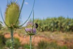 Τριχωτή σφήκα λουλουδιών στο λουλούδι εγκαταστάσεων κάρδων στοκ φωτογραφίες