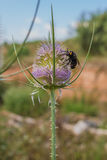 Τριχωτή σφήκα λουλουδιών στο λουλούδι εγκαταστάσεων κάρδων στοκ εικόνα με δικαίωμα ελεύθερης χρήσης