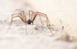 Τριχωτή τρομακτική αράχνη Στοκ Εικόνες
