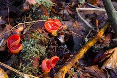 Τριχωτοί μύκητες φλυτζανιών Στοκ εικόνες με δικαίωμα ελεύθερης χρήσης
