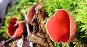 Τριχωτοί μύκητες φλυτζανιών Στοκ εικόνα με δικαίωμα ελεύθερης χρήσης