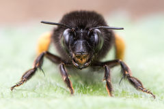 Τριχωτός-πληρωμένα μέλισσα & x28 λουλουδιών Anthophora plumipes& x29  κεφάλι επάνω Στοκ Εικόνες