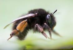 Τριχωτός-πληρωμένα μέλισσα & x28 λουλουδιών Anthophora plumipes& x29  σχεδιάγραμμα Στοκ φωτογραφίες με δικαίωμα ελεύθερης χρήσης